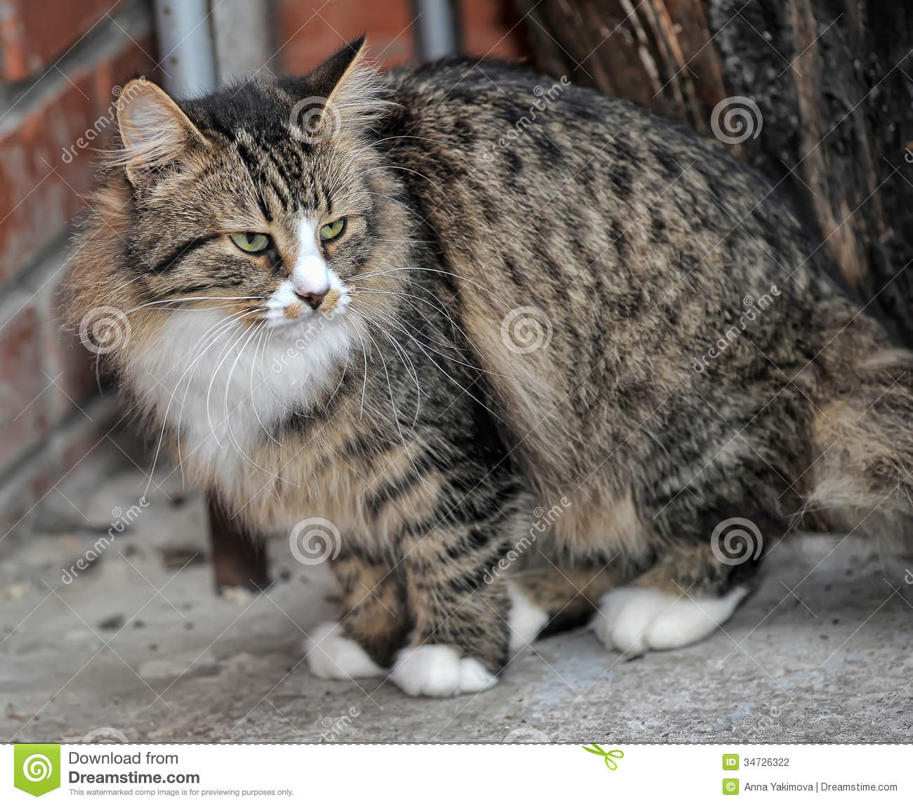 Tabby Norwegian Forest cat stock photo Image of close