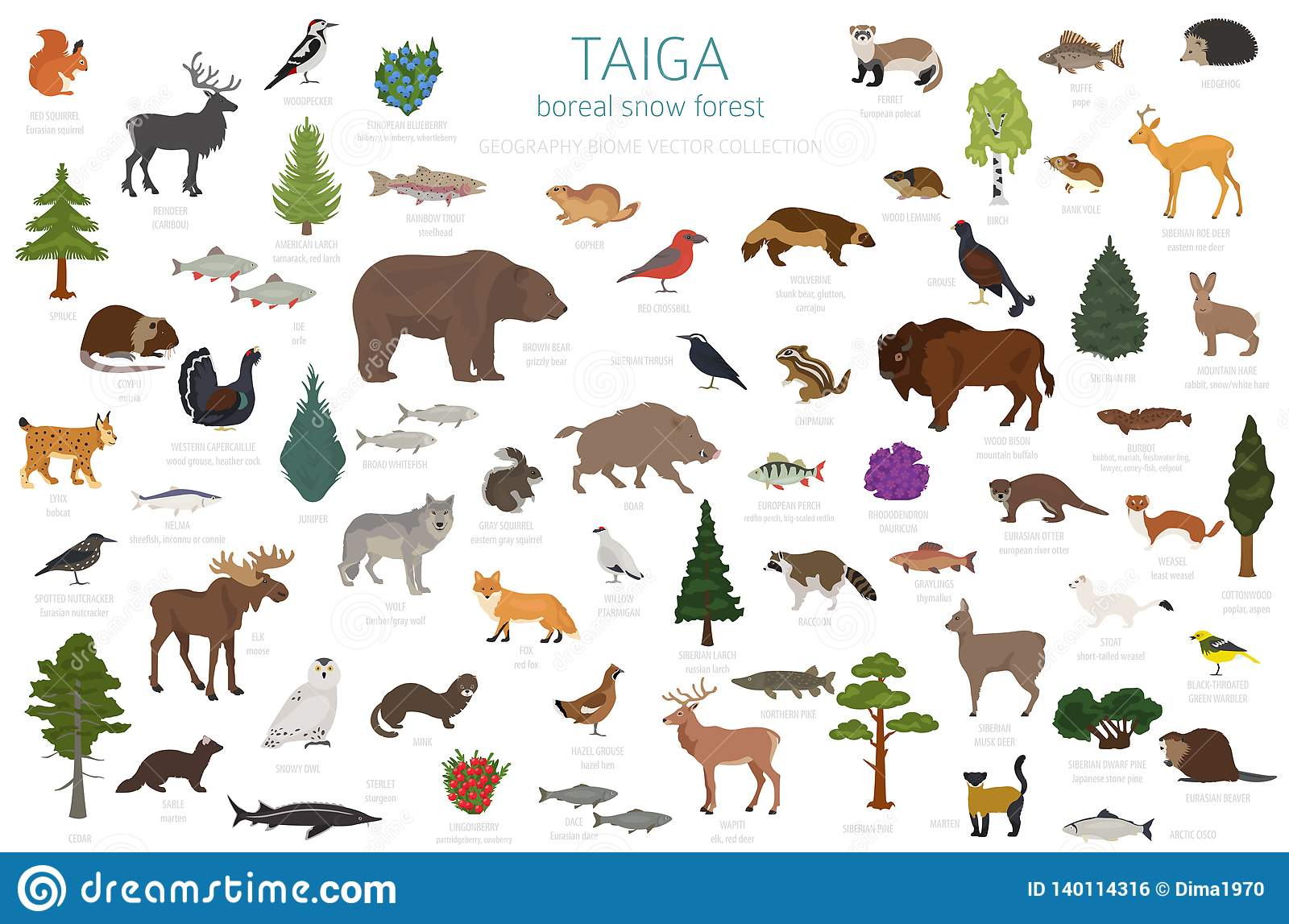 Other animals include voles, beavers, chipmunks, the wood mouse, the hare, and other small furry mammals. Taiga Biome Boreal Snow Forest Terrestrial Ecosystem World Map Animals Birds Fish And Plants Infographic Design Stock Vector Illustration Of Icon Bear 140114316