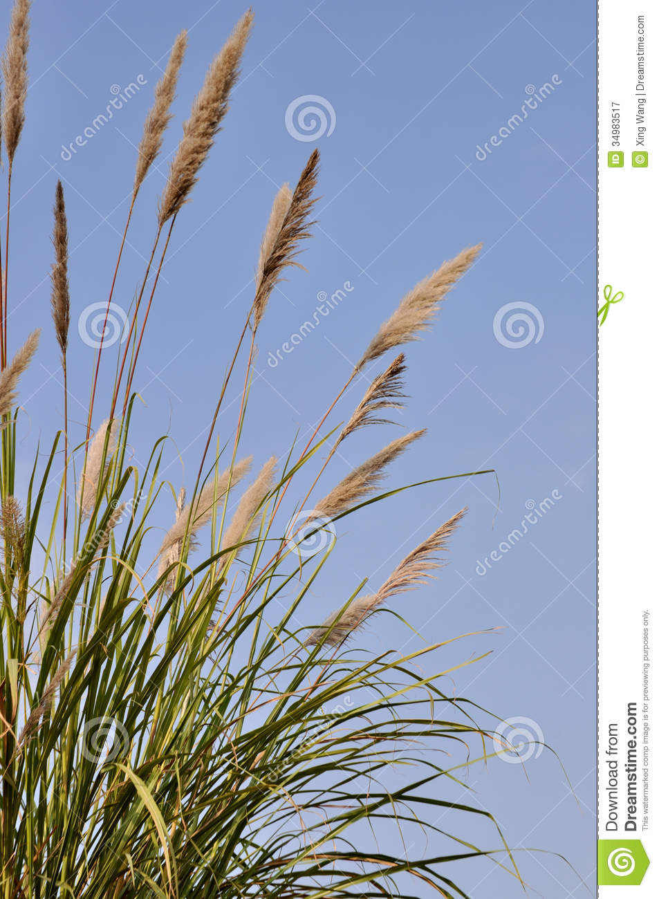 Tall Grass Royalty Free Stock Photography  Image 34983517