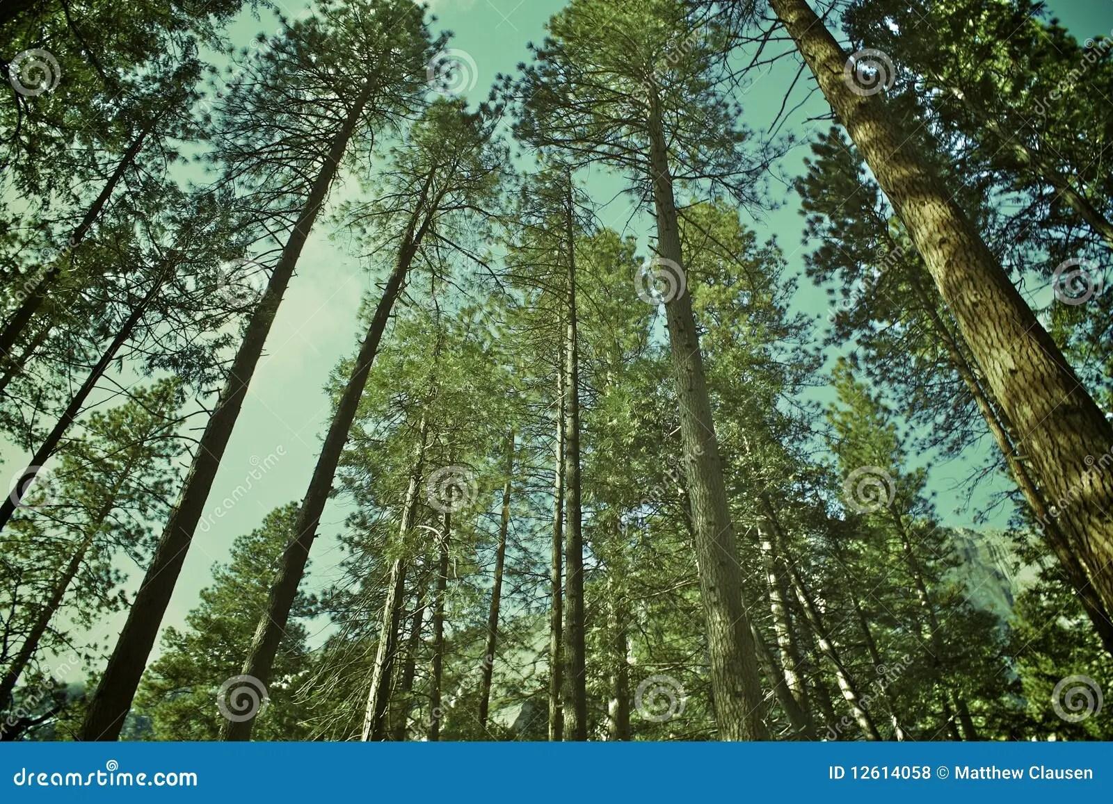 Tall Green Trees Royalty Free Stock Photos Image 12614058