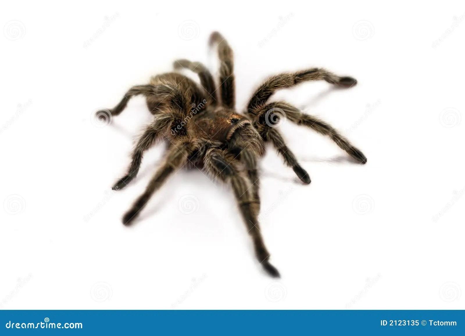 tarantula spider white bg