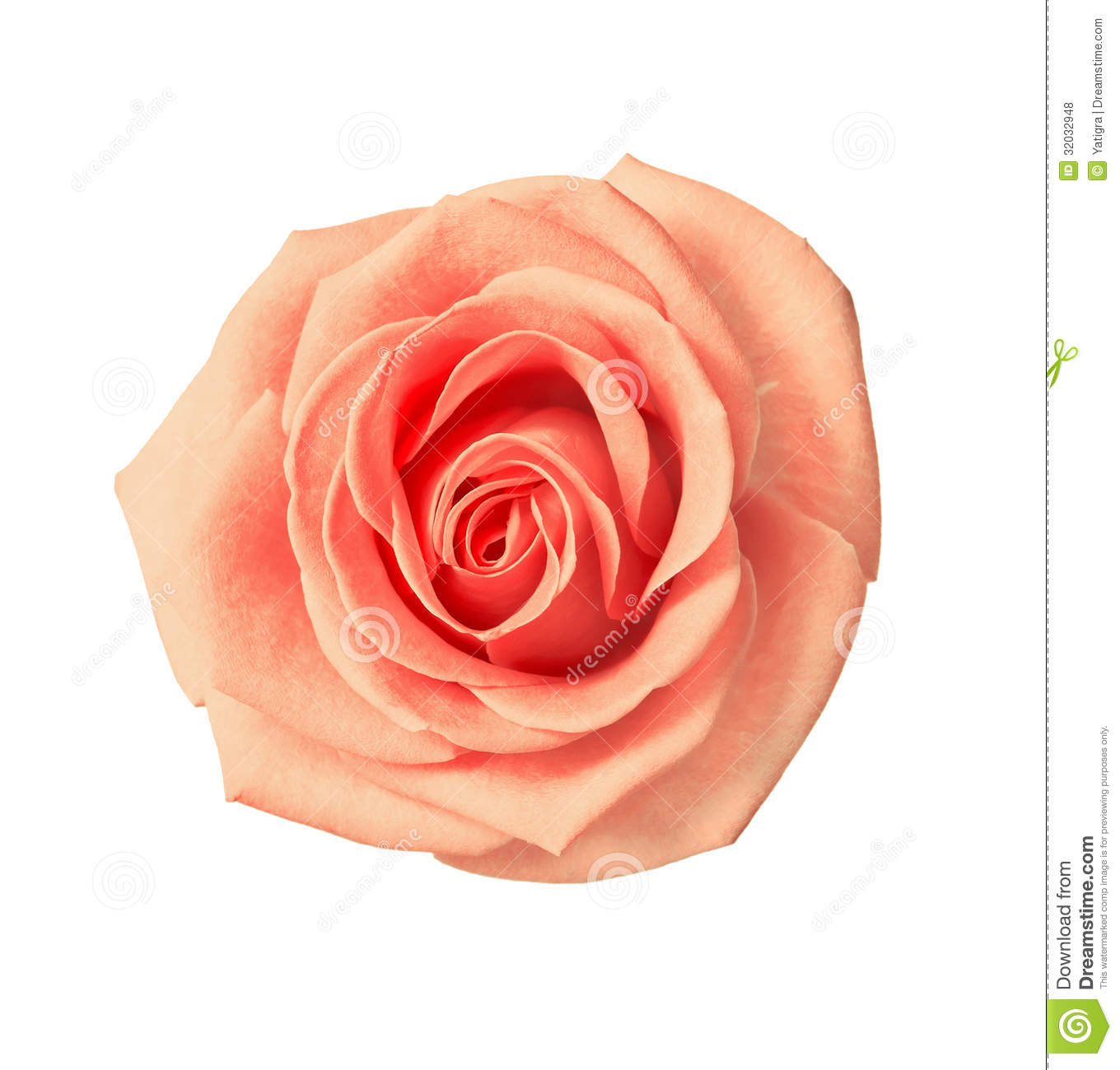 Tea Rose Beige Color Royalty Free Stock Photos  Image