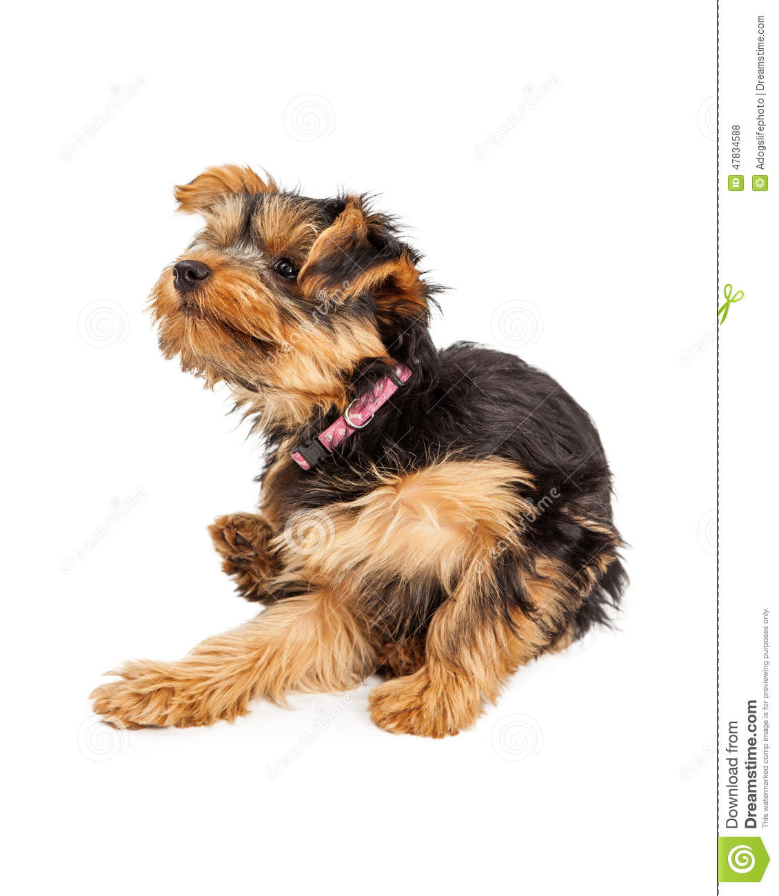 teacup yorkie dog sitting scratching itch cute puppy down 47834588