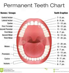 teeth names and permanent teeth eruption chart with accurate notation of the different teeth groups and the year of eruption isolated vector illustration  [ 1300 x 1329 Pixel ]