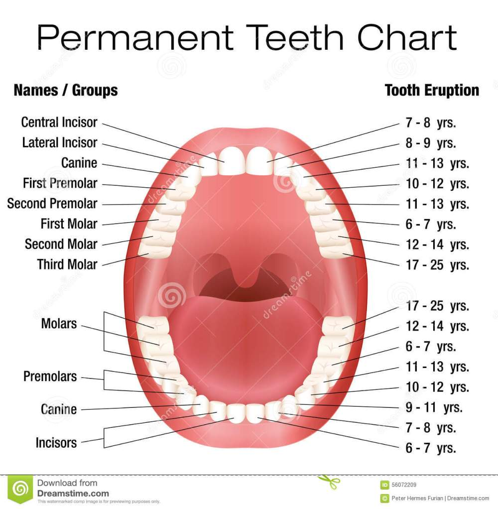 medium resolution of teeth names and permanent teeth eruption chart with accurate notation of the different teeth groups and the year of eruption isolated vector illustration