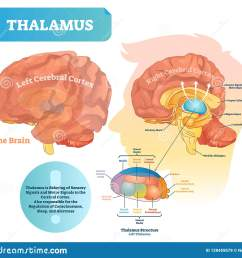 thalamus vector illustration labeled medical diagram with brain structure  [ 1600 x 1467 Pixel ]