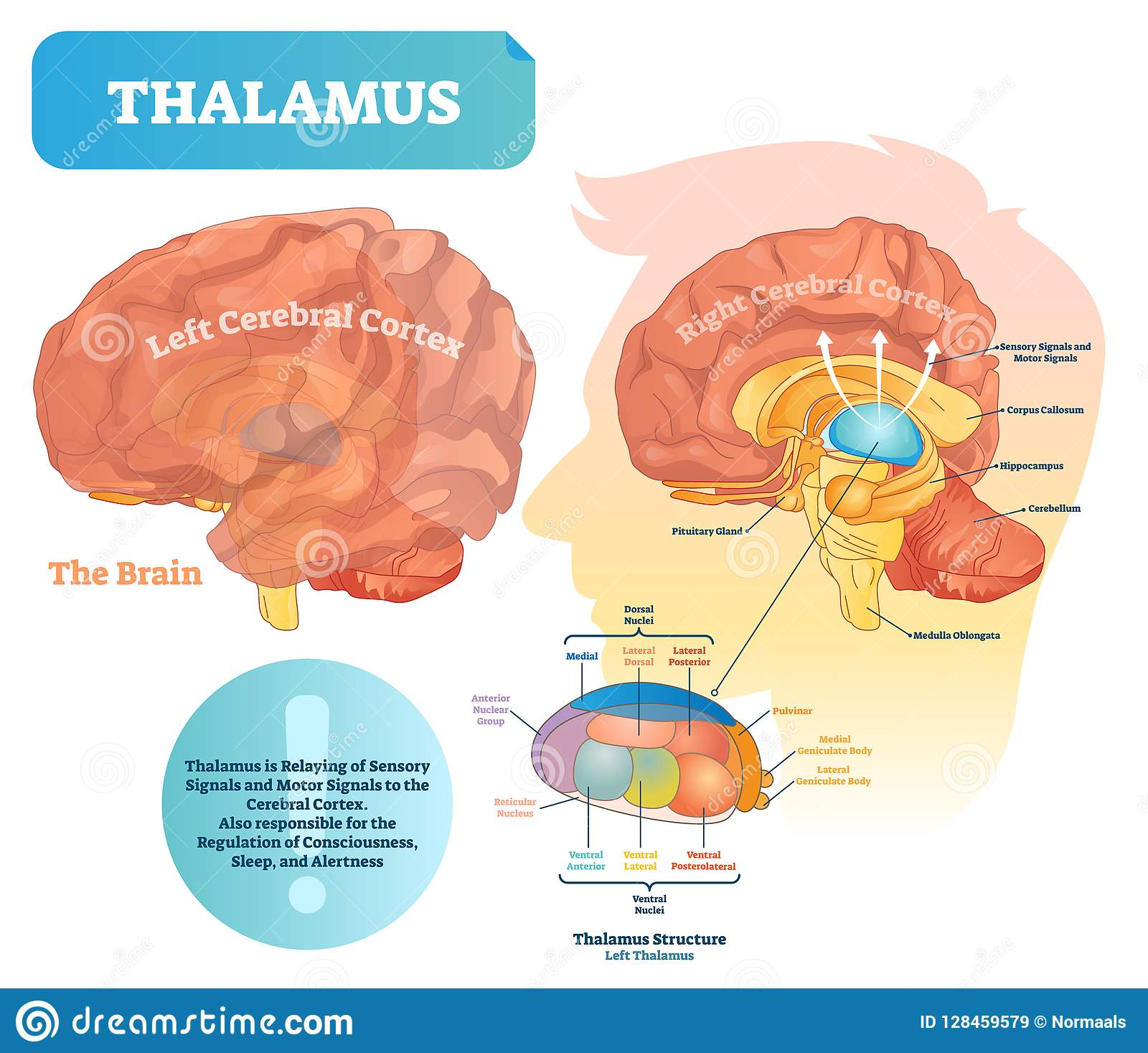 hight resolution of thalamus vector illustration labeled medical diagram with brain structure