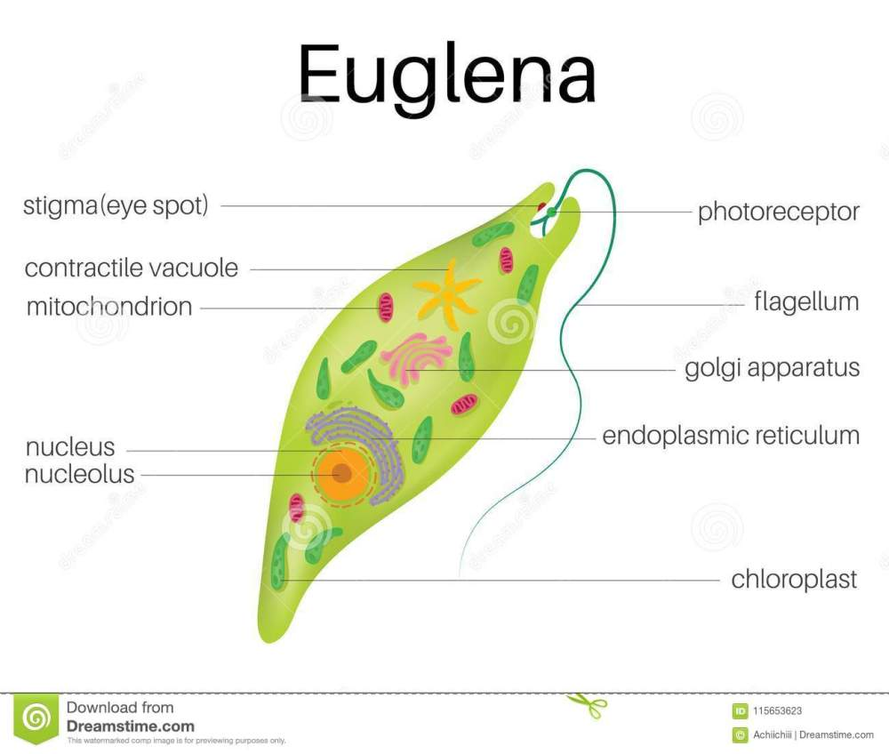 medium resolution of the structure and diagram of euglena stock vector illustration of diagram of euglena and chlamydomonas diagram of euglena