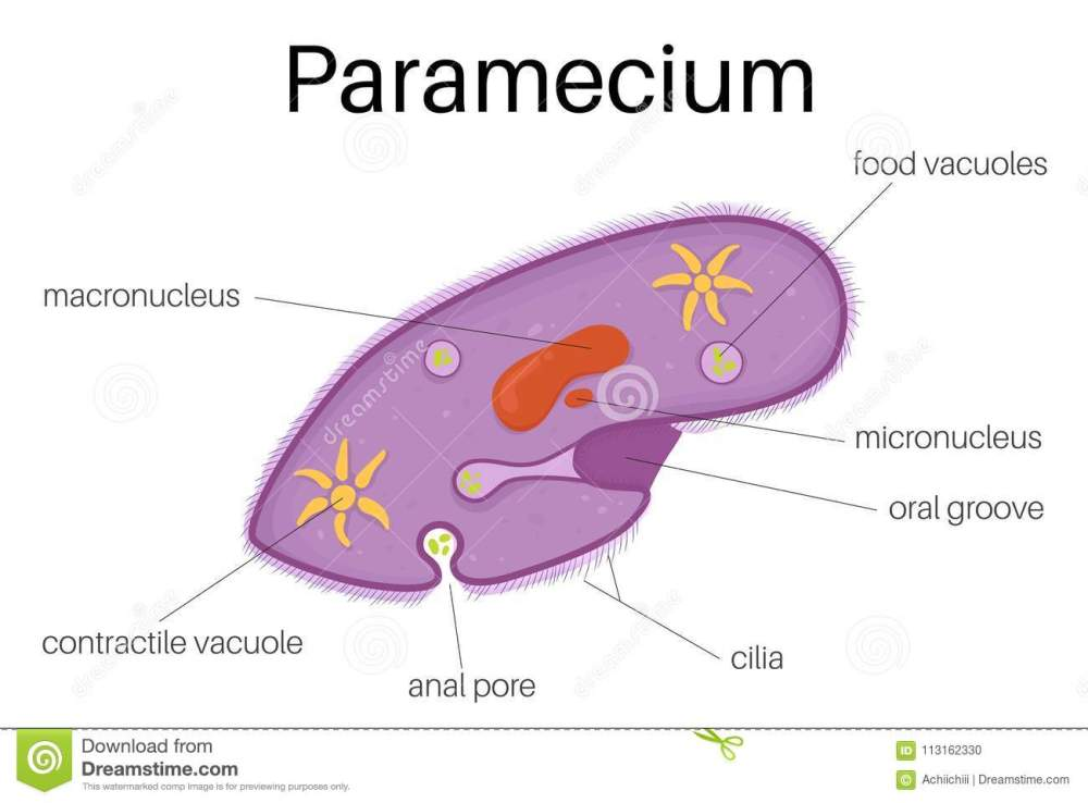 medium resolution of this illustration is the structure and diagram of paramecium use to study for student and interested