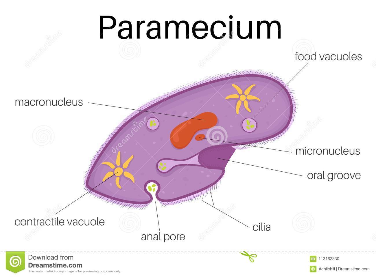 hight resolution of this illustration is the structure and diagram of paramecium use to study for student and interested