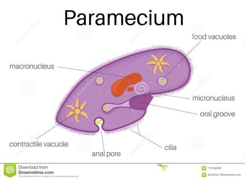 small resolution of this illustration is the structure and diagram of paramecium use to study for student and interested
