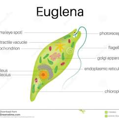 Euglena Cell Diagram With Labels 7 Way Rv Flat Blade Trailer Side Wiring The Structure And Of Stock Vector