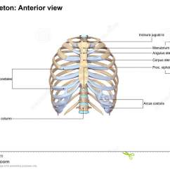 Rib Cage Bone Diagram Nz Electrical Plug Wiring Thoracic Skeleton Anterior View Stock Illustration