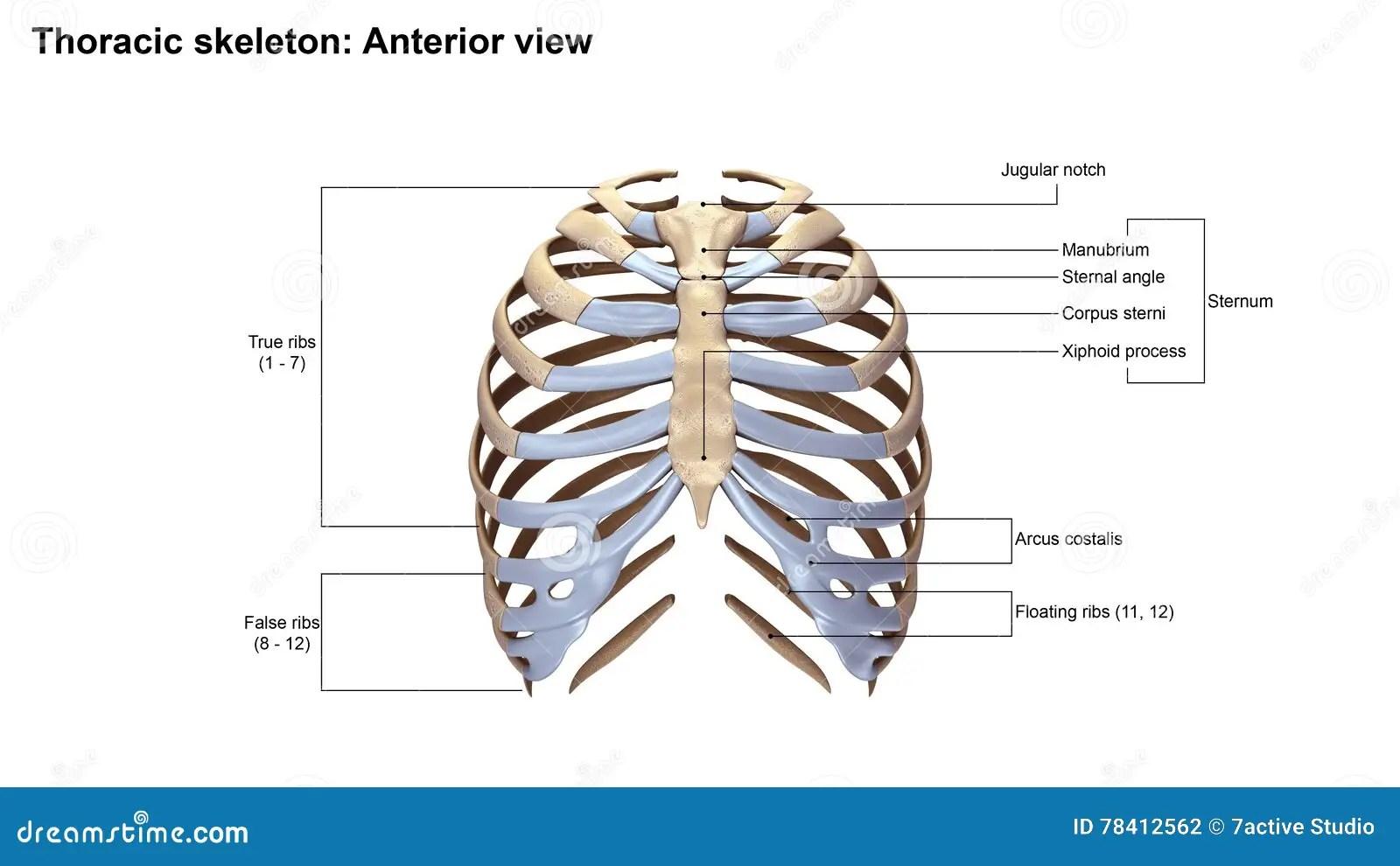 diagram of skeletal ribs copeland compressor wiring thoracic skeleton anterior view stock photo image 78412562
