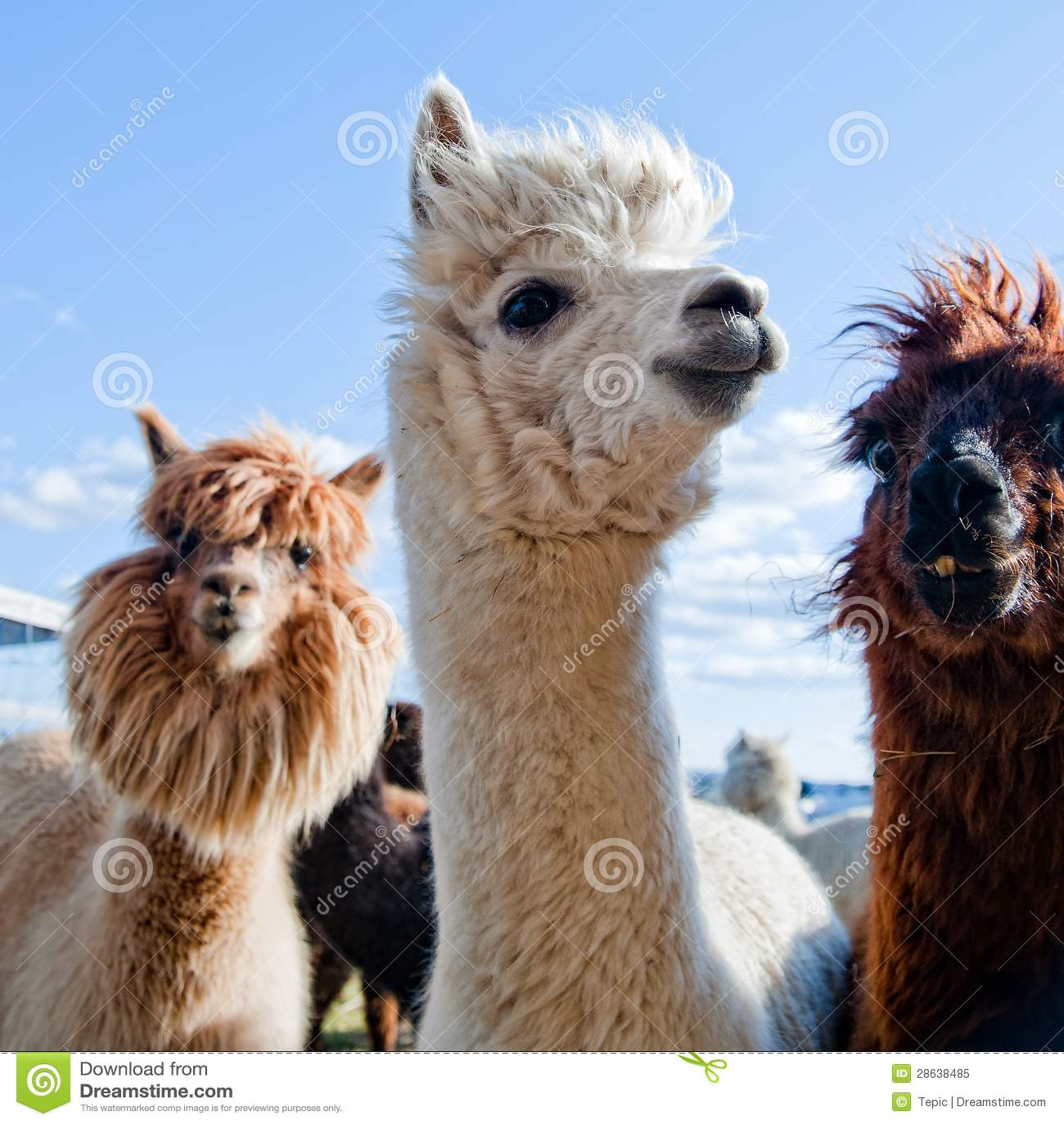 Exotic Animal Wallpaper Three Funny Alpacas Royalty Free Stock Photo Image 28638485