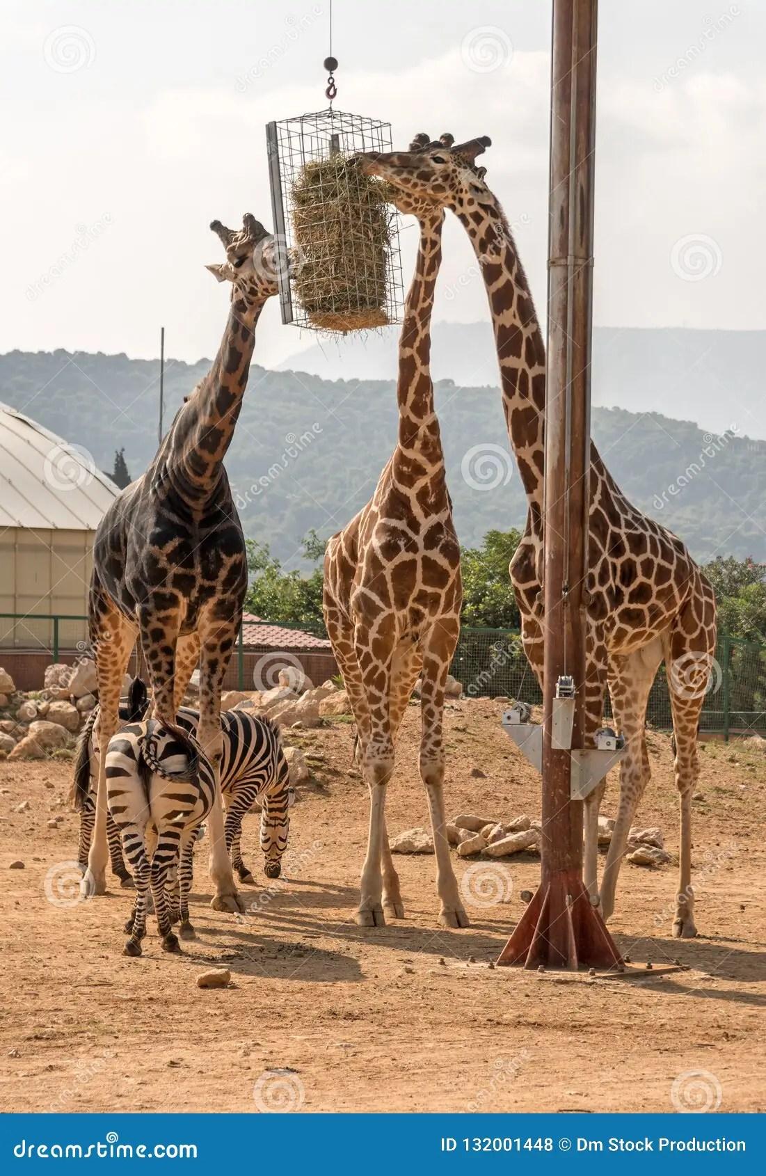 Three Giraffes And Two Zebras Stock Photo