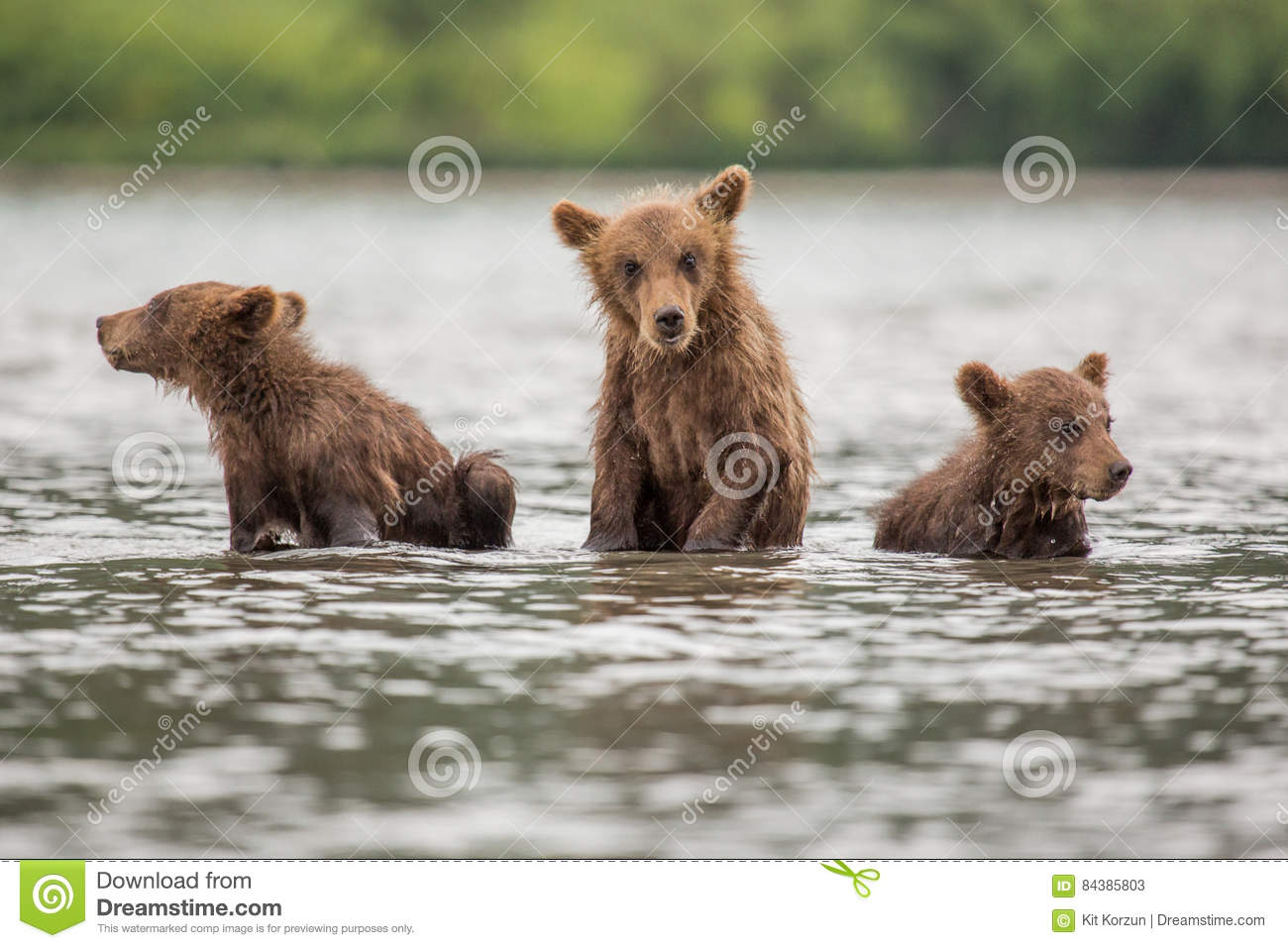 Three Little Bear Cub Swimming In The Lake Royalty Free