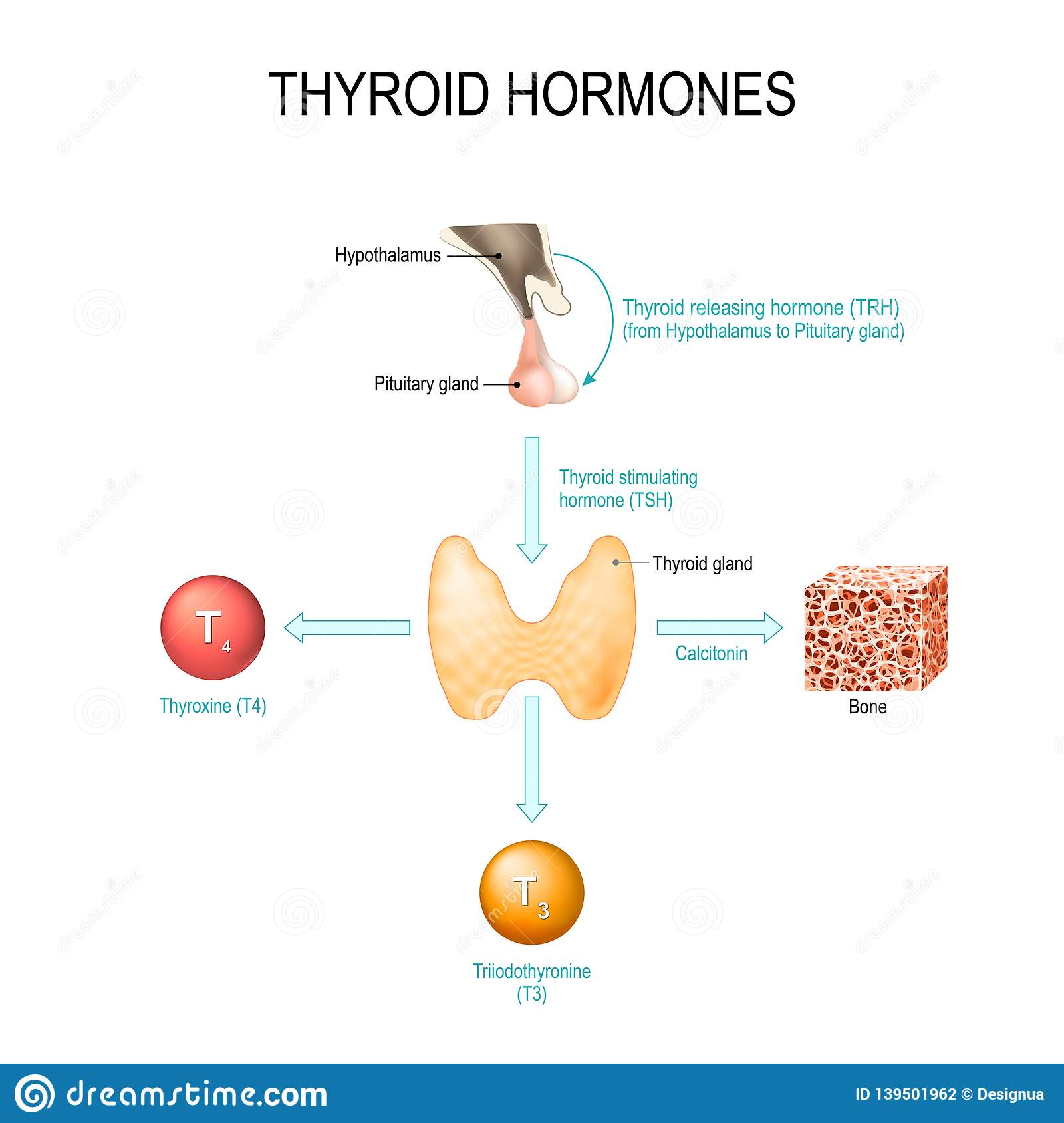Thyroid Hormones Human Endocrine System Stock Vector