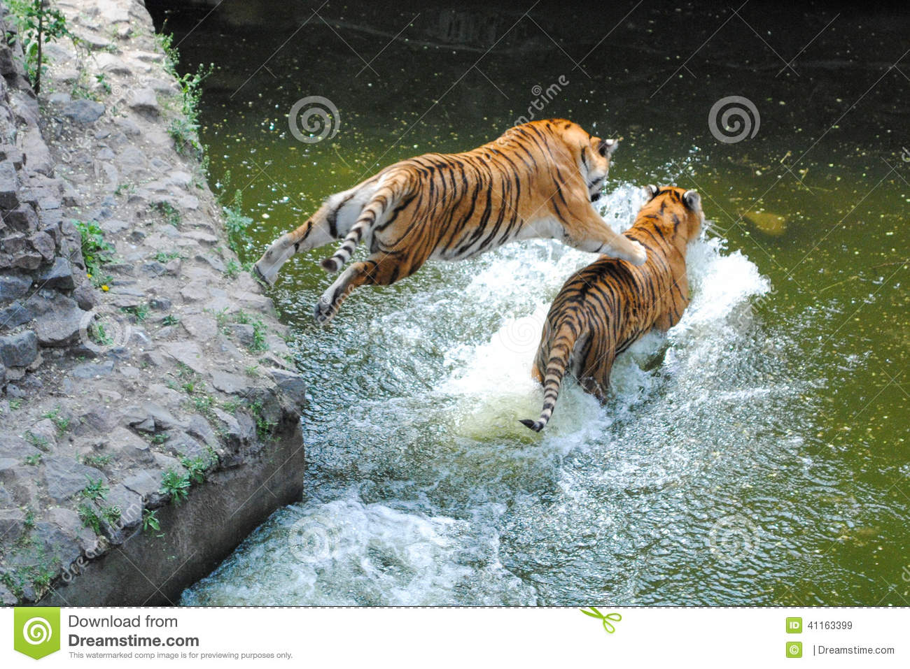 Snow Falling Video Wallpaper Tiger Jumping On Tiger In Water Stock Photo Image 41163399