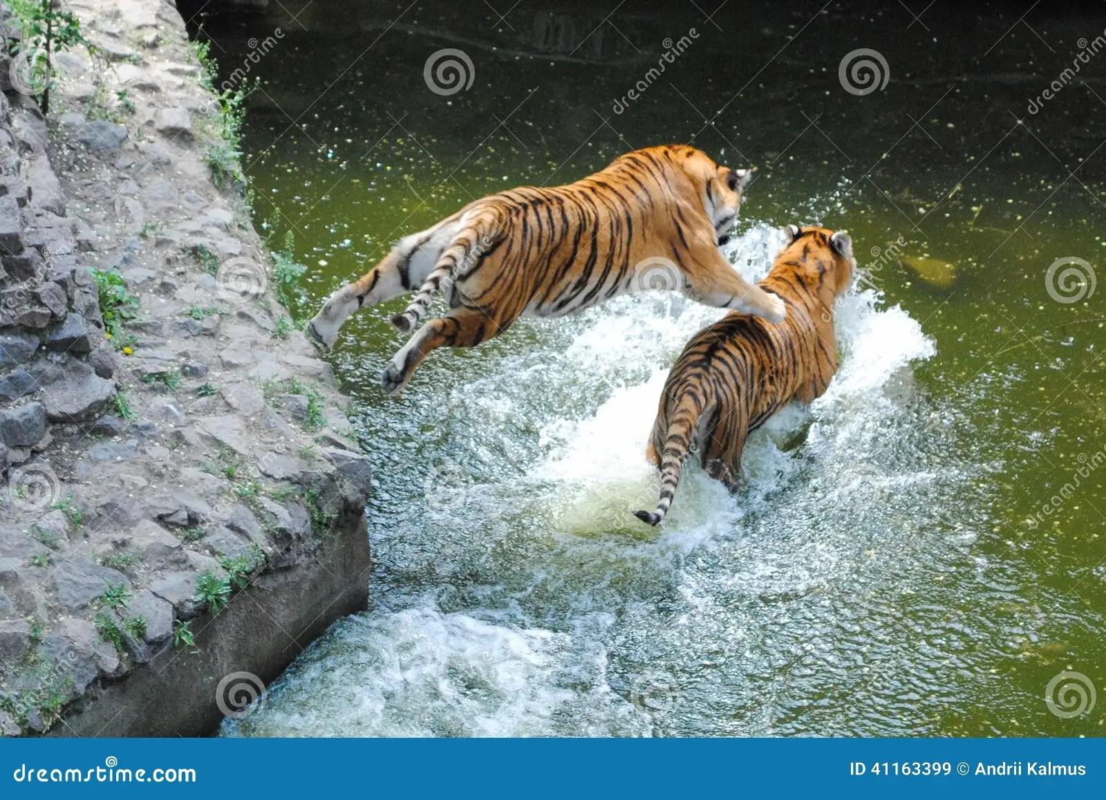 Animal Print Desktop Wallpaper Tiger Jumping On Tiger In Water Stock Image Image Of