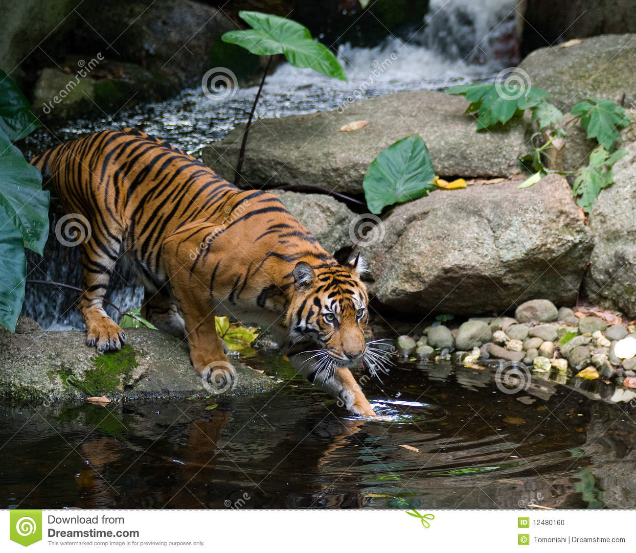 Tiger  Stealth Stock Photo  Image 12480160