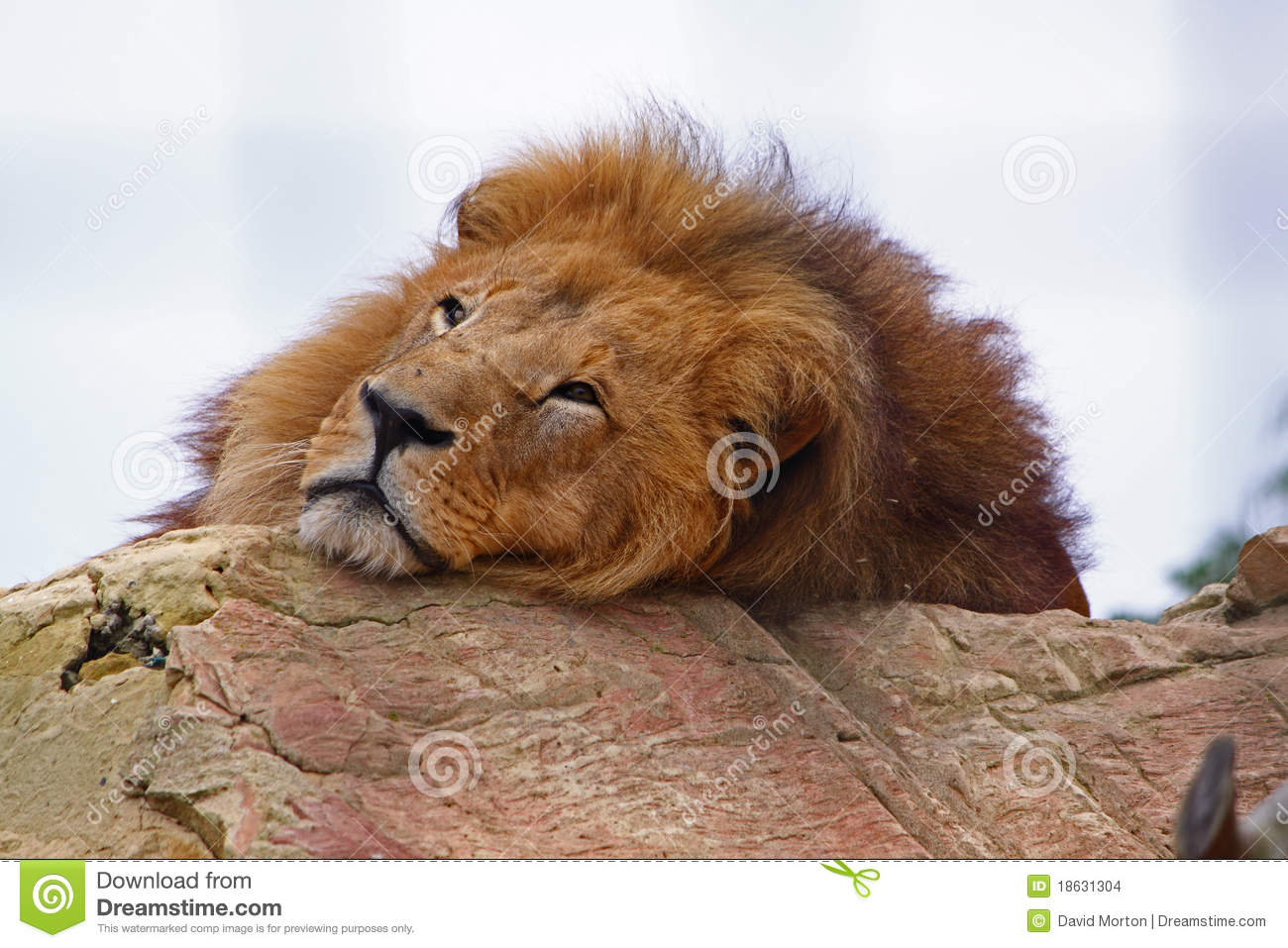 Falls Hd Wallpaper Free Download Tired Lion Stock Images Image 18631304