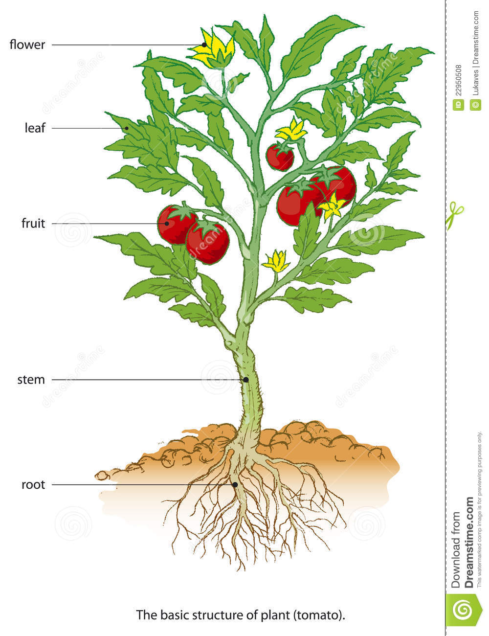medium resolution of tomato plant growth cycle vector illustration