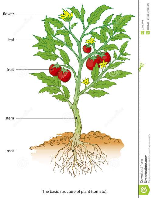 small resolution of tomato plant growth cycle vector illustration