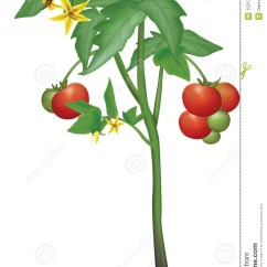 Plant Stem Diagram Worksheet 7 Blade Truck Wiring Tomato Stock Illustration. Illustration Of - 1021772
