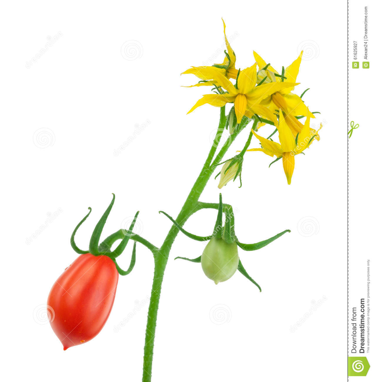 hight resolution of  tomato flower diagram tomato plant flower with red and green tomatoes stock