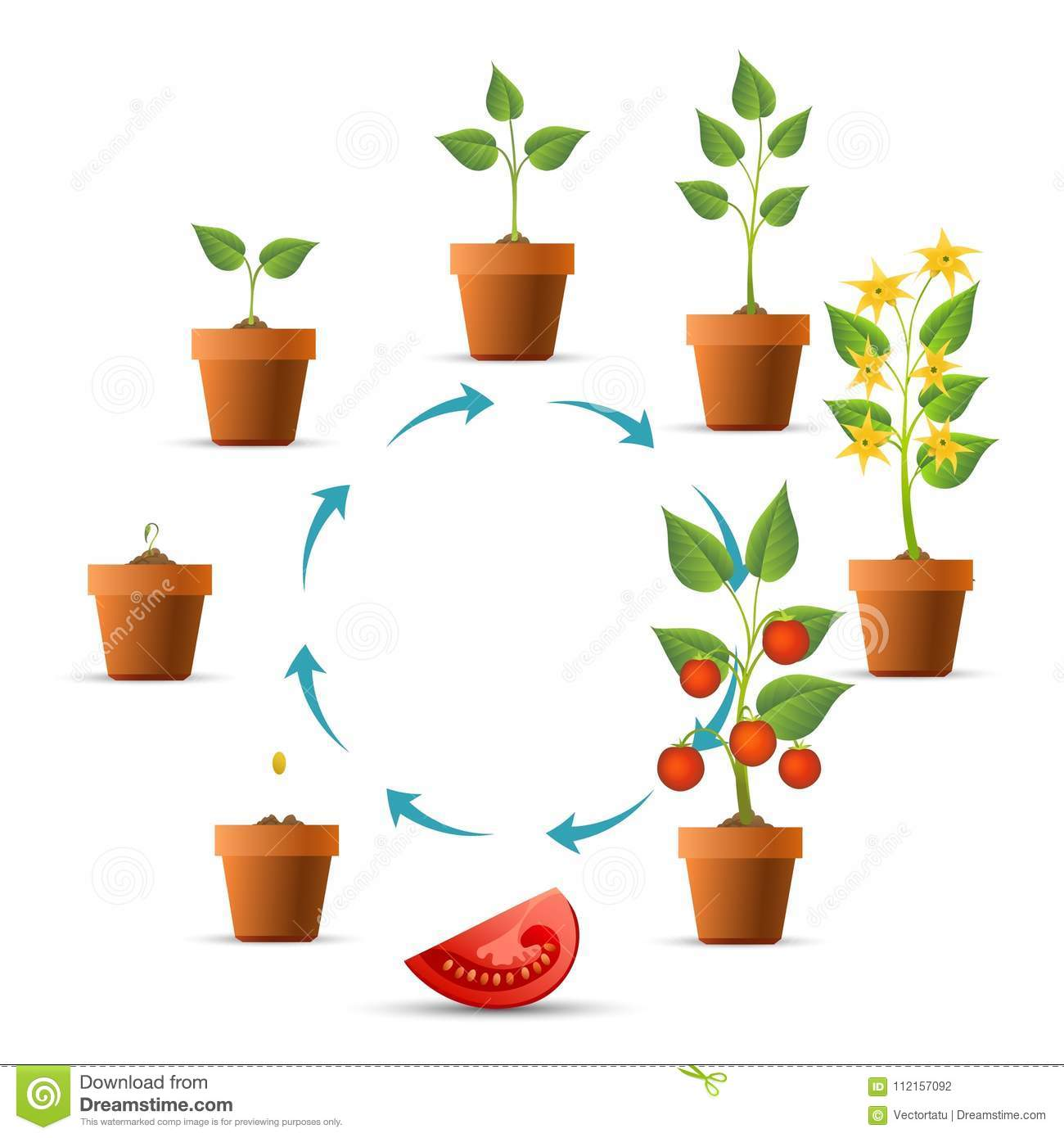 Tomato Plant Growing Cycle