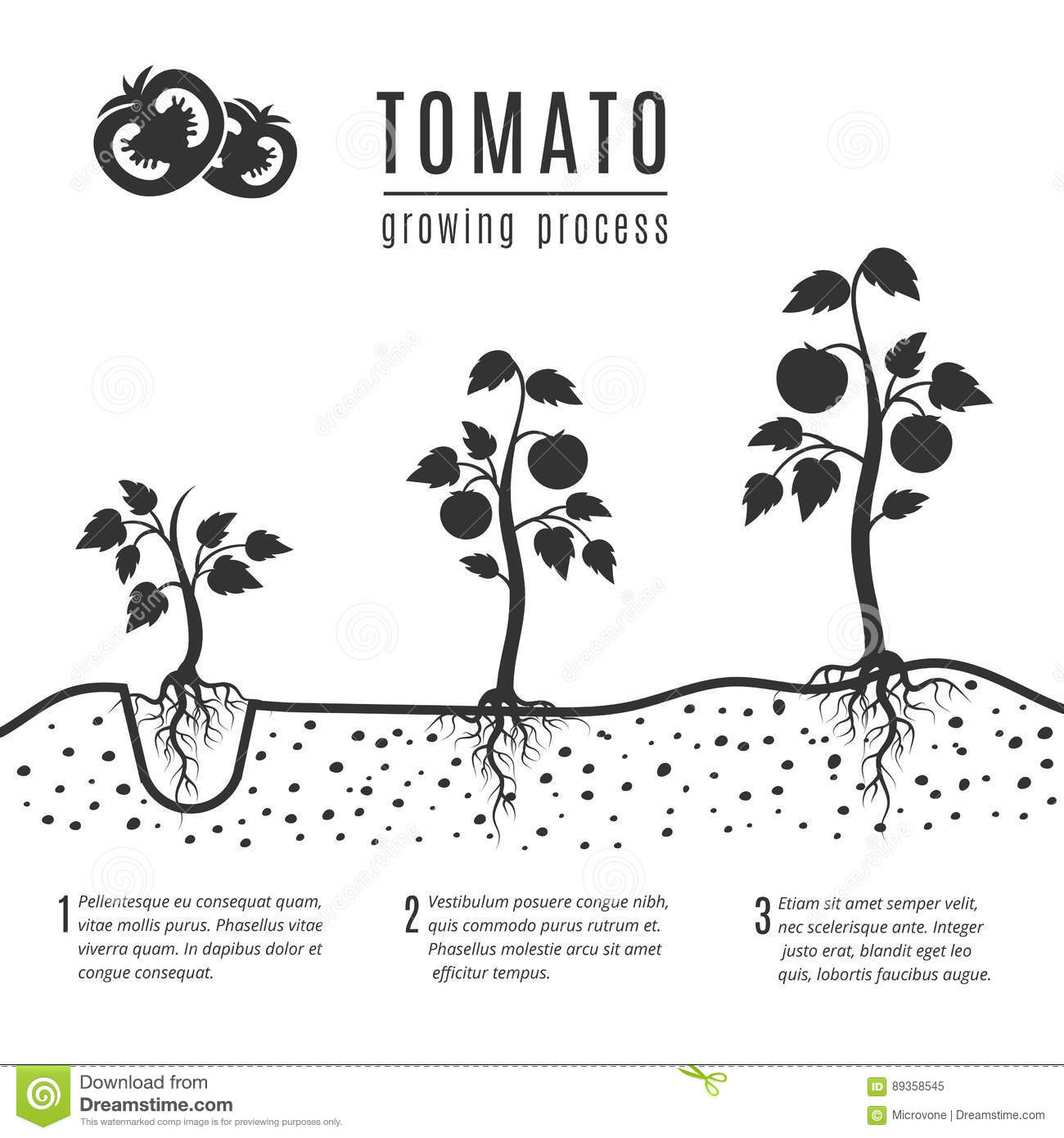 Tomato Plant Growth Cycle Vector Illustration