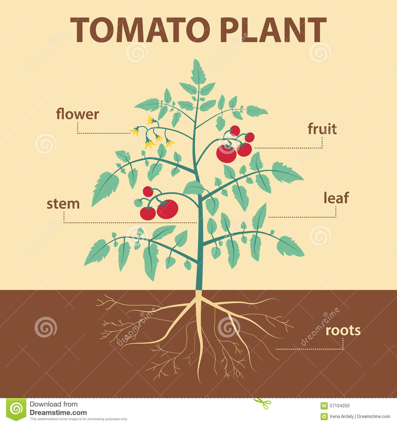diagram of a flowering plant with label cat 5 wiring b tomato stock vector image 57104250