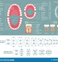 tooth anatomy chart orthodontist human teeth loss diagram dental scheme and orthodontics medical oral health tooth anatomy or prosthetics  [ 1600 x 1290 Pixel ]