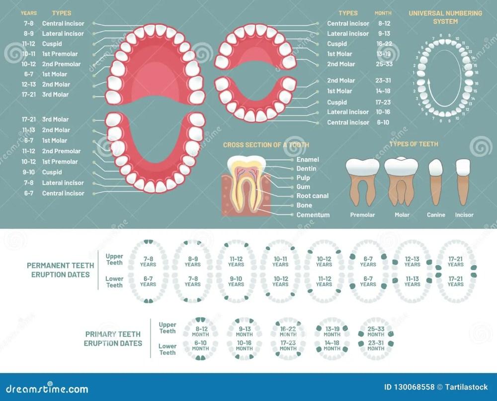 medium resolution of tooth anatomy chart orthodontist human teeth loss diagram dental scheme and orthodontics medical oral health tooth anatomy or prosthetics