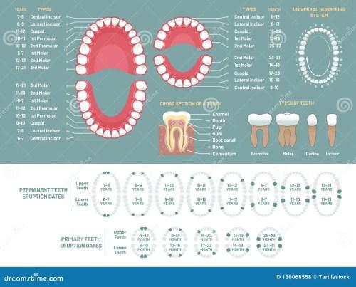 small resolution of tooth anatomy chart orthodontist human teeth loss diagram dental scheme and orthodontics medical oral health tooth anatomy or prosthetics