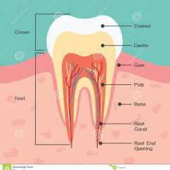 Diagram For 5 Gum What Is A Number Line Tooth Anatomy Stock Vector Illustration Of Canine