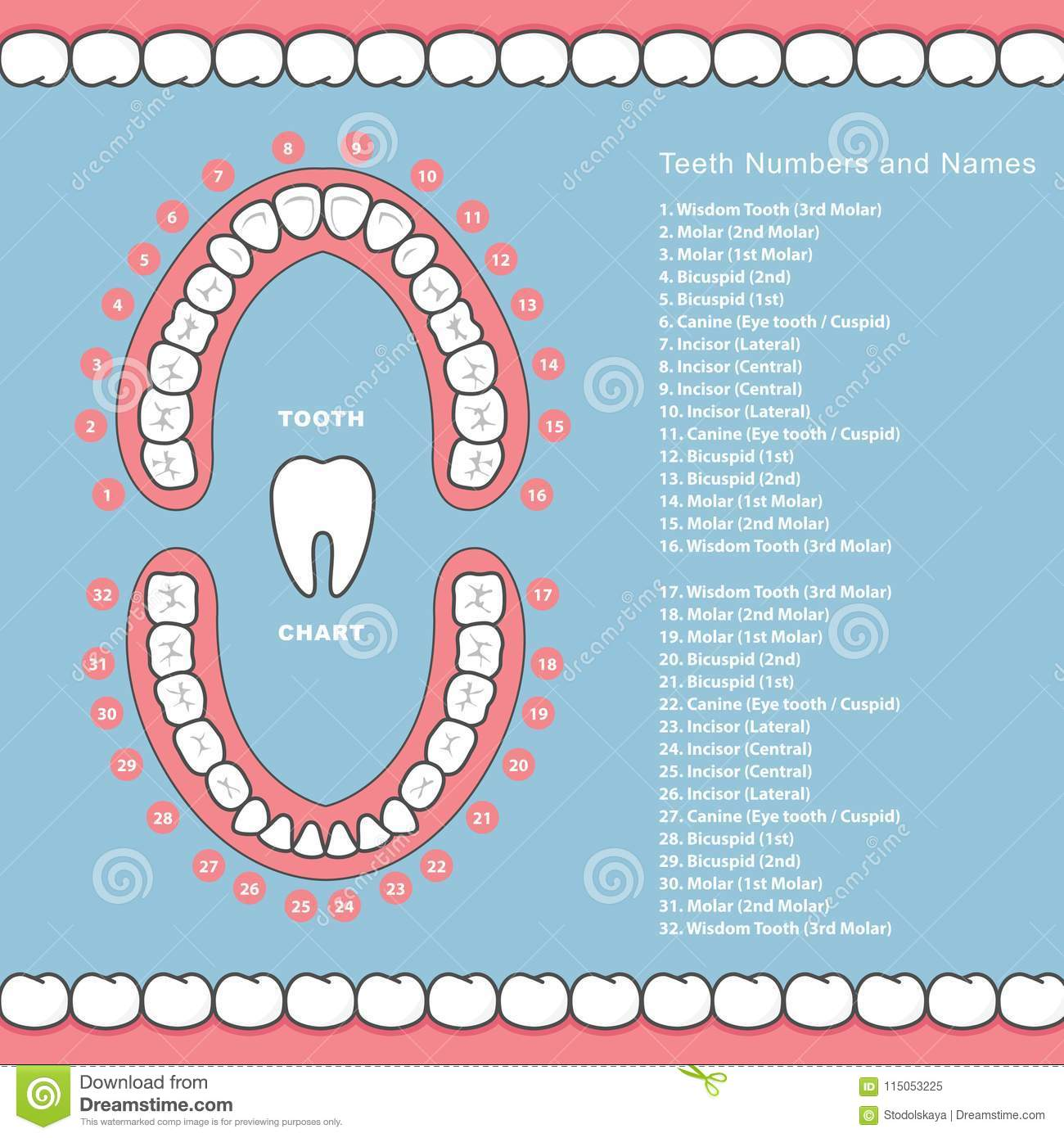 teeth names diagram kenwood car stereo wiring tooth chart with dental infographics in jaw
