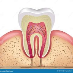 Diagram For 5 Gum Haltech E8 Wiring Tooth Cross Section Stock Vector Illustration Of Bone