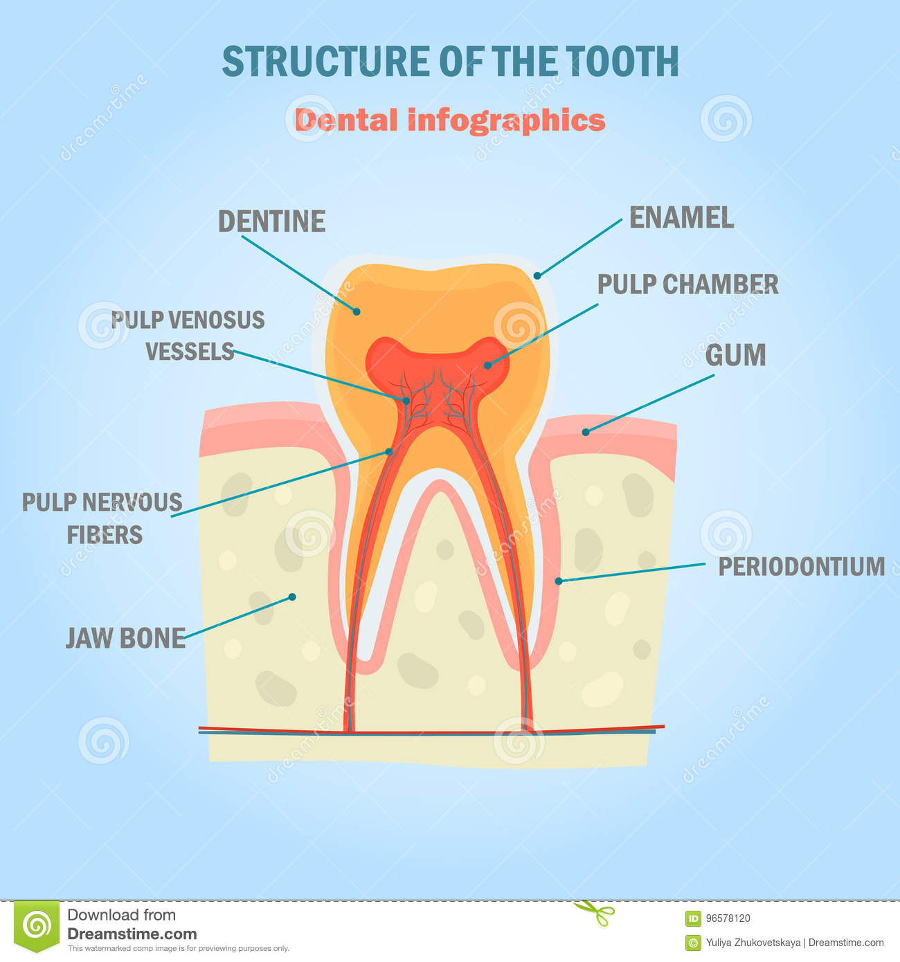 Tooth Structure Color Infographics Dental Illustration