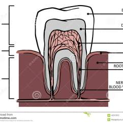 Teeth Names Diagram 2009 Pontiac Vibe Radio Wiring Tooth Stucture Stock Illustration Of