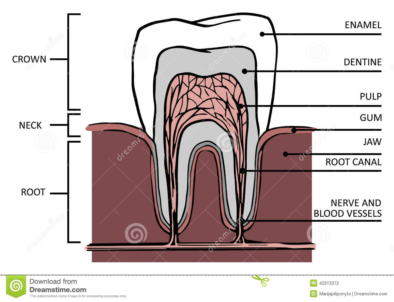 tooth layout diagram bt phone jack wiring stucture stock illustration image 42313372