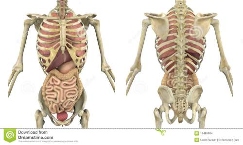 small resolution of torso skeleton with internal organs