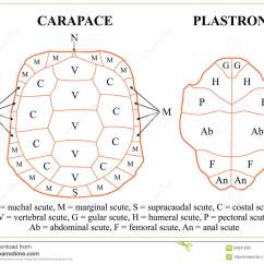 Sea Turtle Life Cycle Diagram Prestolite Aircraft Alternator Wiring Shell Carapace Pictures To Pin On Pinterest