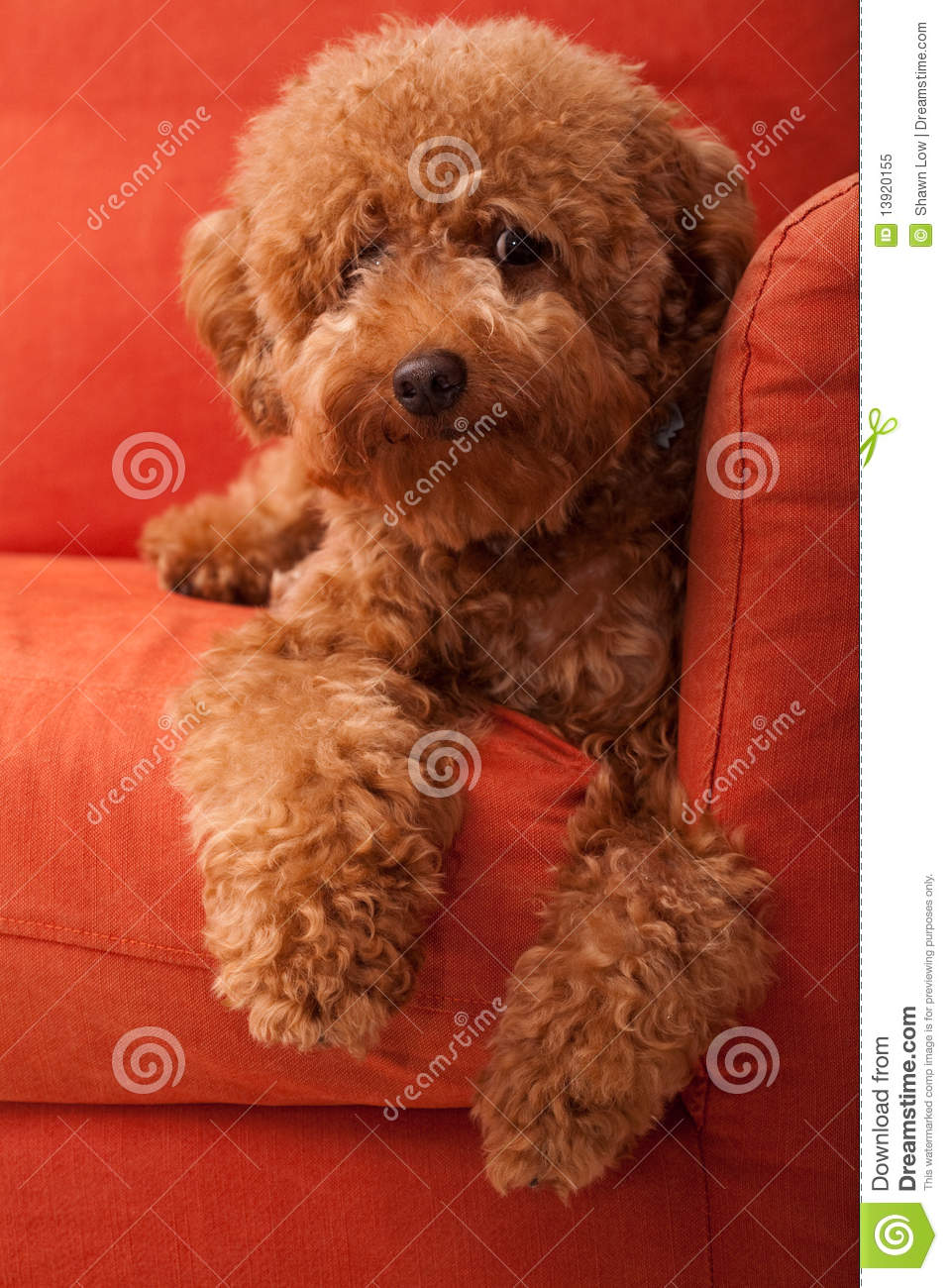 fuzzy sofa extra large cushions uk toy poodle lazing on 2 stock image - image: 13920155
