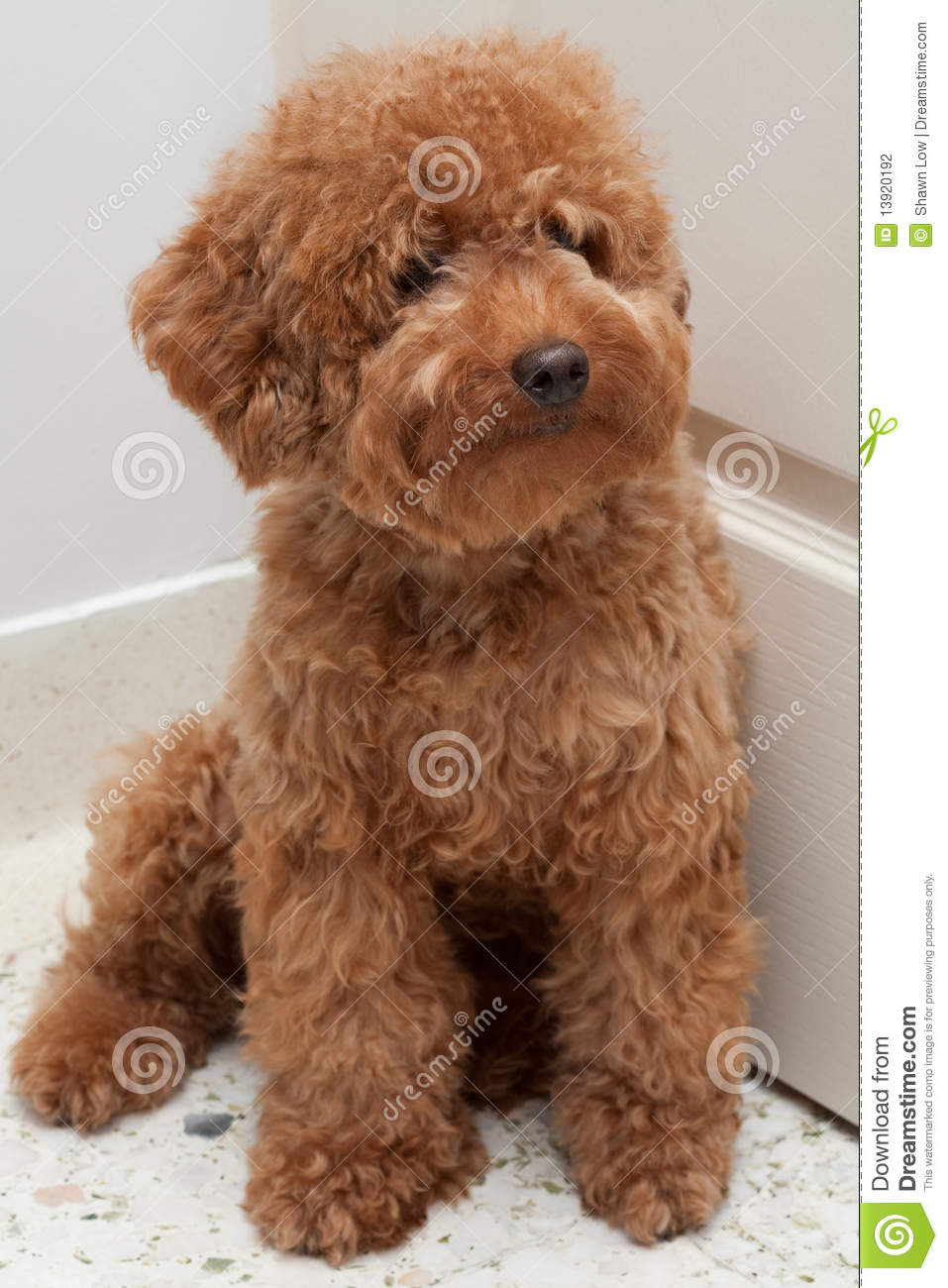 Cute Pomeranian Wallpaper Toy Poodle With A Sad Expression 4 Stock Photo Image Of