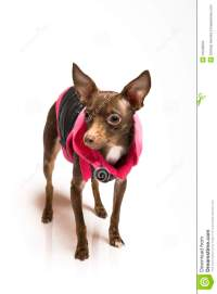 Toy Terrier Dog In Dog Clothes Stock Images - Image: 13248034