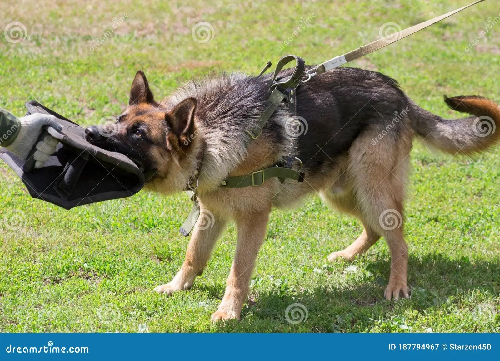 Training A German Shepherd Dog In Cynological Club