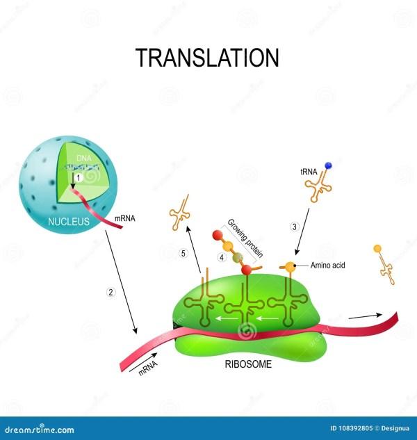 tRNA Ribosome Translation Cartoon