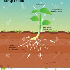 Flower Transpiration Diagram 2004 Gsxr 600 Headlight Wiring Stomata Cartoons Illustrations And Vector Stock Images 56
